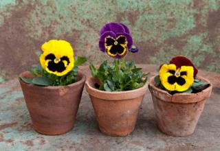 Kwiaty wieloletnie- jakie wybrać