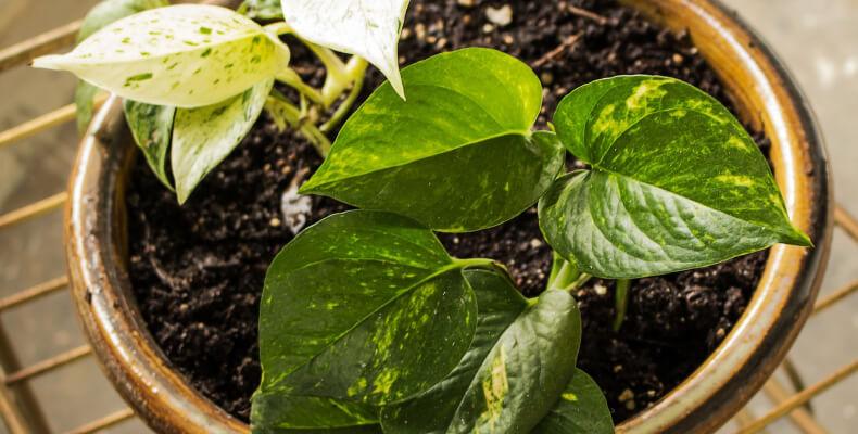 Rośliny oczyszczające powietrze_Epipremnum złociste