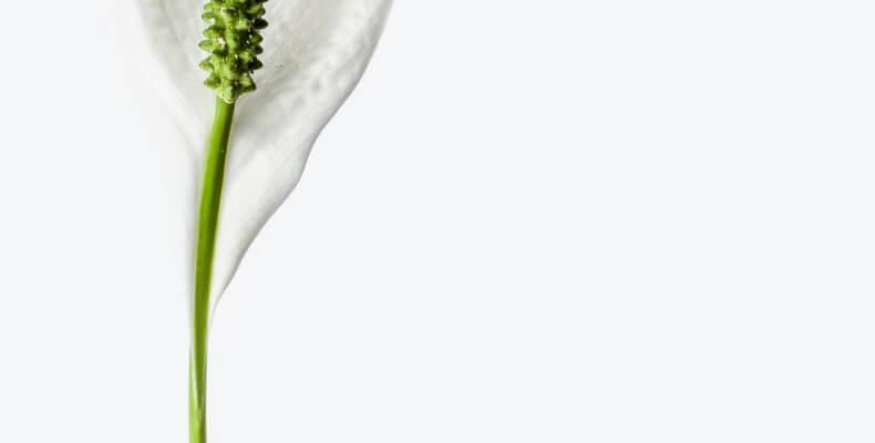 Rośliny oczyszczające powietrze_Skrzydłokwiat
