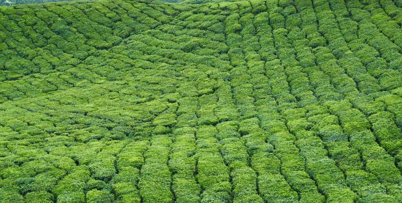 Właściwości herbaty - plantacja herbaty