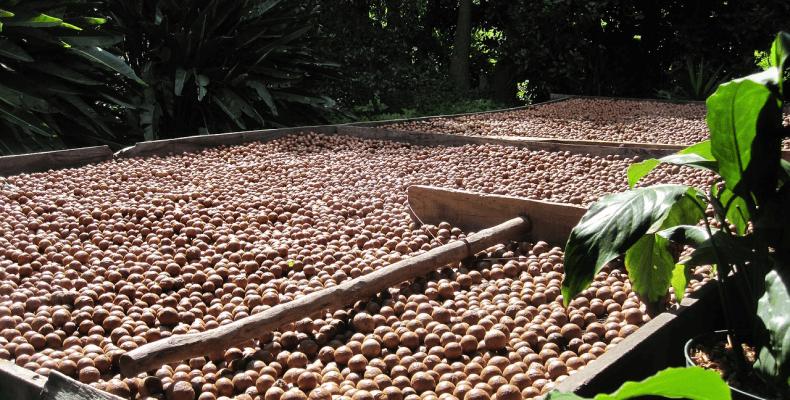 Olej z orzechów makadamii