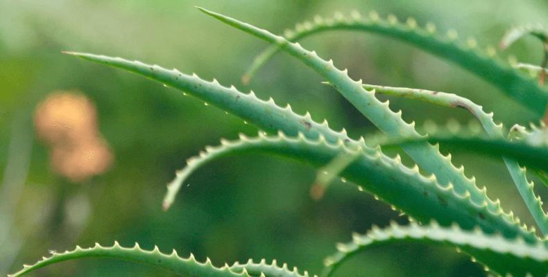 Aloes i inne sposoby na zajady