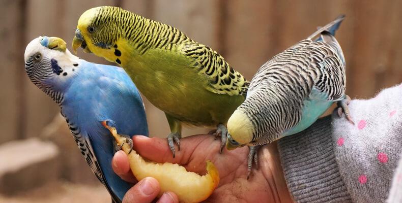Małe zwierzęta domowe papużka falista